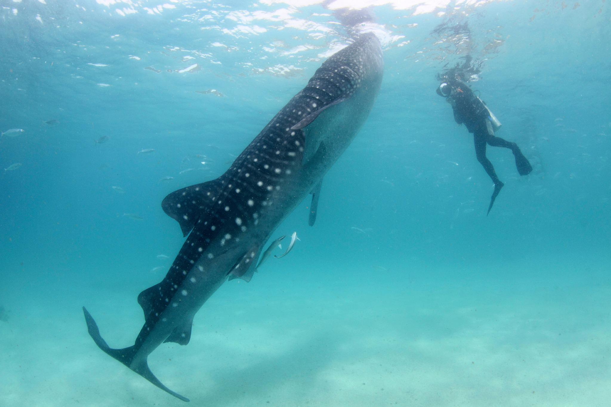 Where can you Swim with Whale Sharks in WA?