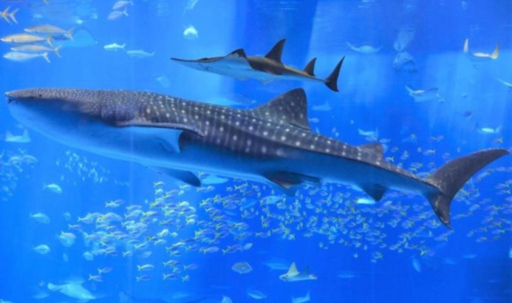 Dietary Habits whale-sharks