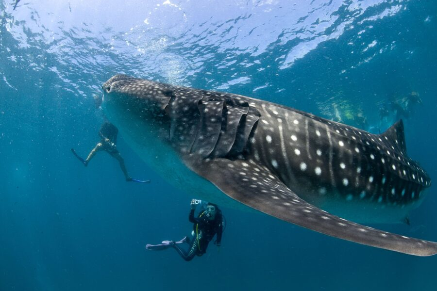 Should or Shouldn't you Swim with the Whale Shark