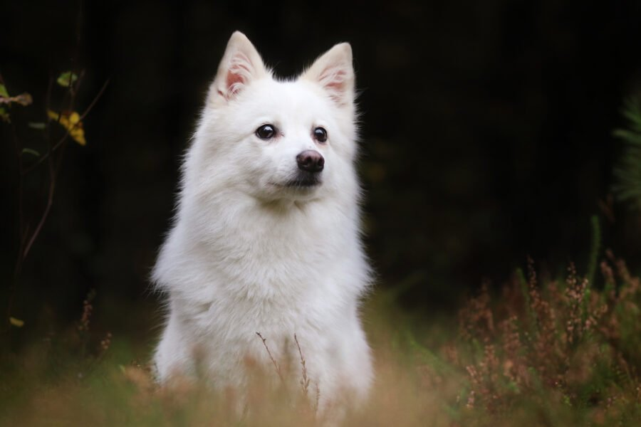 Indian Spitz Dog: Facts, Grooming, and Features
